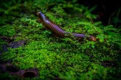 Jätte- tusenfoting eller Trigoniulus corallinus som går på Junglen Arkivfoto