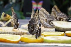 Jätte- ugglafjärilar Royaltyfri Foto