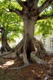 jätte- västra kapoktangenttree Royaltyfria Bilder
