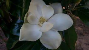 Jätte- vit blomma fotografering för bildbyråer