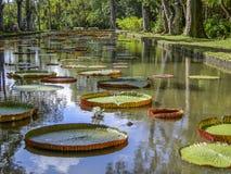 Jätte- waterlilies, Victoria amazonica i kristallklart vatten på det långa dammet royaltyfri foto