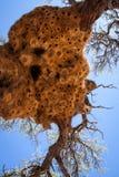Jätte Weaver Bird Nests i det afrikanska trädet, Namibia Arkivfoto