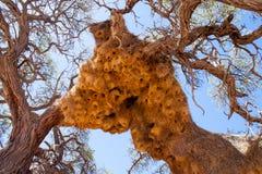 Jätte Weaver Bird Nests i det afrikanska trädet, Namibia Royaltyfri Bild