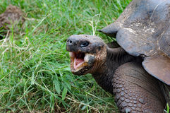 Jättegalapagos sköldpadda med den öppna munnen, closeup Royaltyfri Foto