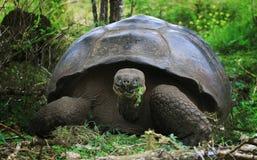 JätteGalapagos sköldpadda - som är lös i natur Arkivbild