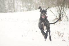 Jätteglad hundspring på det första snöfältet Arkivfoton