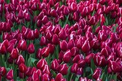 Jättelikt fält av röda och vita tulpan Royaltyfri Foto