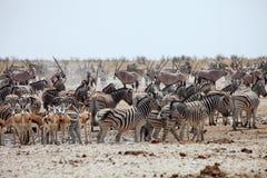 Jättelikt nummer av djur på waterholen i Etoshaen Arkivfoton