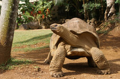 jätten poserar sköldpaddan Arkivbild