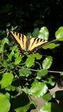 Jätten Tiger Swallowtail Butterfly på gräsplan lämnar hög upplösning fotografering för bildbyråer