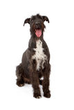 jätteschnauzer för svart hund Arkivfoto