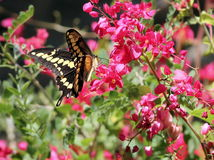 JätteSwallowtail fjäril i Mexico Arkivbilder