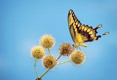 JätteSwallowtail fjäril på buttonbushblommor Arkivbild