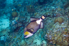 jättetriggerfish Royaltyfria Bilder