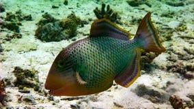 JätteTriggerfish i Indiska oceanen, Maldiverna royaltyfria bilder