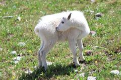 Jóvenes de la cabra de montaña Imagenes de archivo