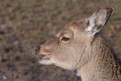 Jóvenes de los ciervos comunes Foto de archivo libre de regalías