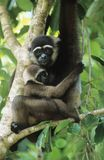 Jóvenes del abarcamiento del mono de ardilla en árbol Imágenes de archivo libres de regalías