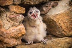 Jóvenes del pájaro de la lechuza común Foto de archivo libre de regalías