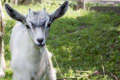 Jóvenes divertidos goatling Imagen de archivo
