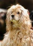 Jóvenes, perro de aguas de cocker de Cutie Foto de archivo