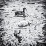Jóvenes unos del cisne blanco, descolorido foto de archivo libre de regalías