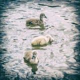 Jóvenes unos del cisne blanco, filtro análogo fotos de archivo