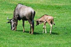 Jóvenes y madre del Wildebeest Imagen de archivo libre de regalías