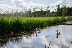 Júntese de cisnes con la natación joven en un canal a través de los campos de granja fotos de archivo libres de regalías