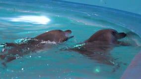 Júntese de los delfínes que nadan en piscina y que miran fuera del agua almacen de video