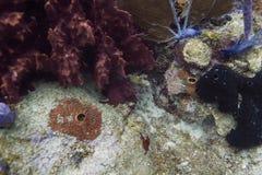Jüngeres beschmutzter Trunkfish Stockfotos