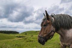 Jütland-Pferd in Nordby Bakker Stockbilder