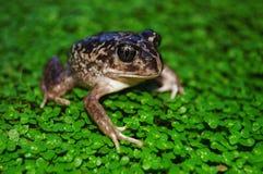 Jęczeć żaby Fotografia Stock