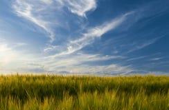 jęczmienia pole