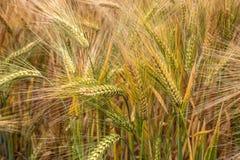 Jęczmienia Zbożowy Kukurydzany pole Zdjęcia Royalty Free