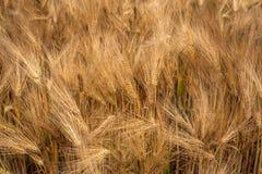 Jęczmienia Zbożowy Kukurydzany pole Zdjęcie Royalty Free