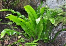 Języcznik (Asplenium scolopendrium) obrazy stock