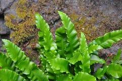 Języcznik (Asplenium scolopendrium) zdjęcia royalty free