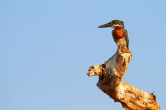 jätte- kingfisher Royaltyfria Bilder