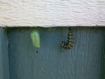 J and Chrysalis. Monarch Butterfly Metamorphosis royalty free stock photos
