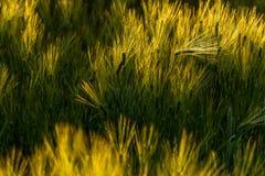 Jęczmieni pola w wiatrze Zdjęcia Royalty Free