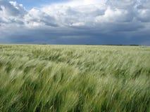 Jęczmienia pole pod burzowym niebem Fotografia Stock