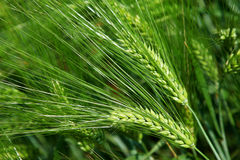 jęczmienia zieleni plantacj spikelets Zdjęcia Royalty Free