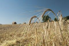 Jęczmienni ucho przeciw niebieskiemu niebu i polu Fotografia Stock