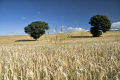 Jęczmienni ucho przeciw niebieskiemu niebu i polu Zdjęcie Stock