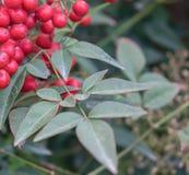 J?rnek och r?da Berry Background N?rbild av Ilexaquifolium- eller europ?j?rneksidor och frukt arkivbilder