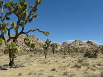 J-Tree Vista. Twisted Joshua Trees in California's national park Stock Image
