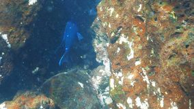 J?tte- mexikansk damselfish p? islaen Santa Fe i galapagosen arkivfilmer