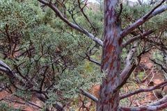 Jałowcowe Drzewne tekstury obraz royalty free