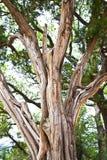 Jałowcowy Drzewny bagażnik i gałąź Zdjęcia Royalty Free